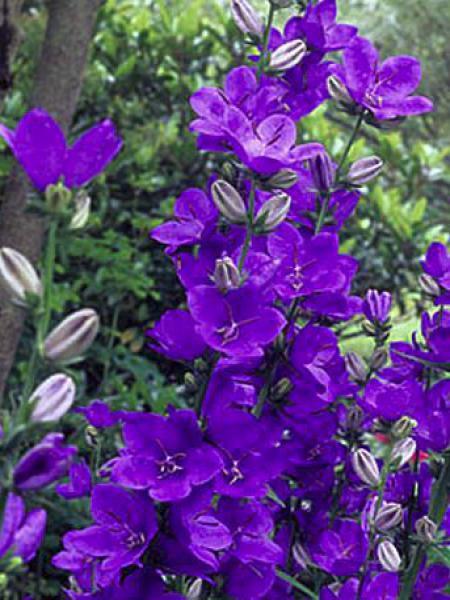 Campanule à fleurs larges 'Highcliffe Variety'