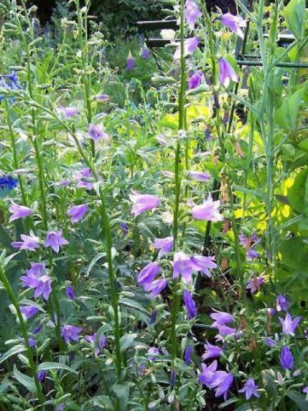 Campanule 'Lavender Blue'