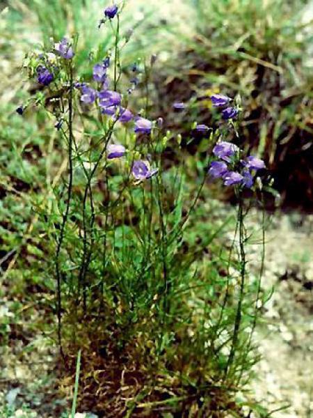 Campanule rotundifolia