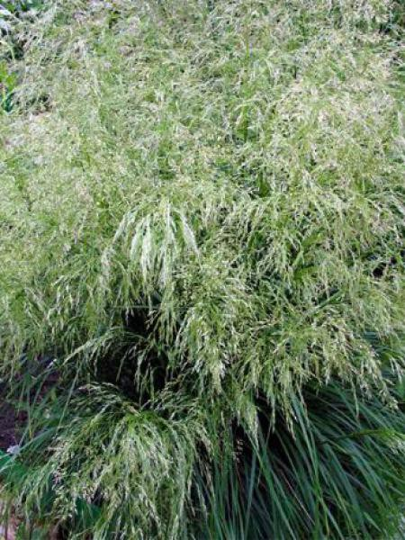 Canche cespiteuse 'Tardiflora'