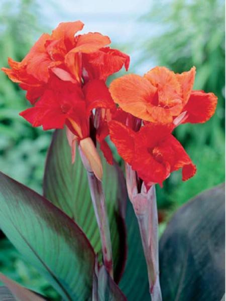 Canna Indica 'Brown Leaf Red King Humbert'