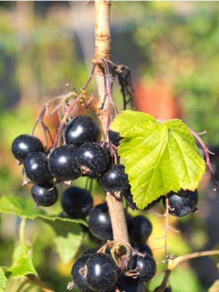 Cassissier 'Noir de Bourgogne'