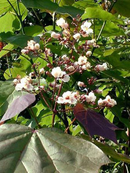 Catalpa erubescens 'Purpurea'