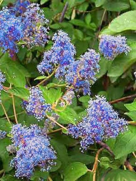 C anothe caduc 39 henri desfoss 39 ceanothus delilianus - Arbuste a fleurs bleues ...