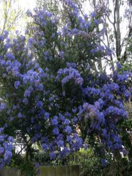 Céanothe de Santa Barbara, Lilas de Californie 'Puget blue'