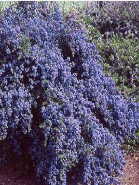 Céanothe de Santa Barbara, Lilas de Californie