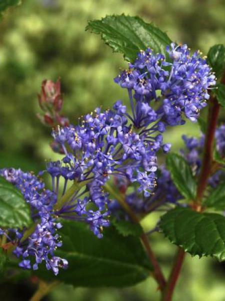 Céanothe, Lilas de Californie 'Autumnal Blue'