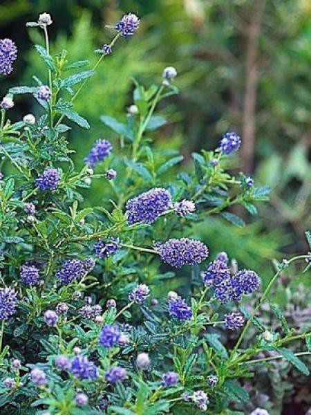 Céanothe, Lilas de Californie 'Blue Diamond'®