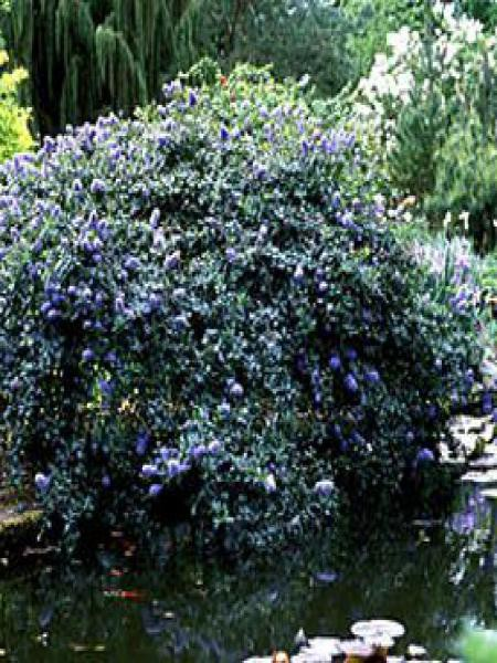 Céanothe, Lilas de Californie 'Blue Mound'