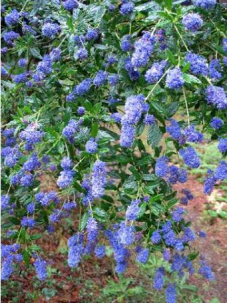 Céanothe, Lilas de Californie 'Concha'
