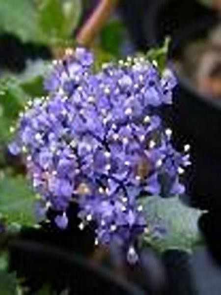 Céanothe, Lilas de Californie 'Emily Brown'