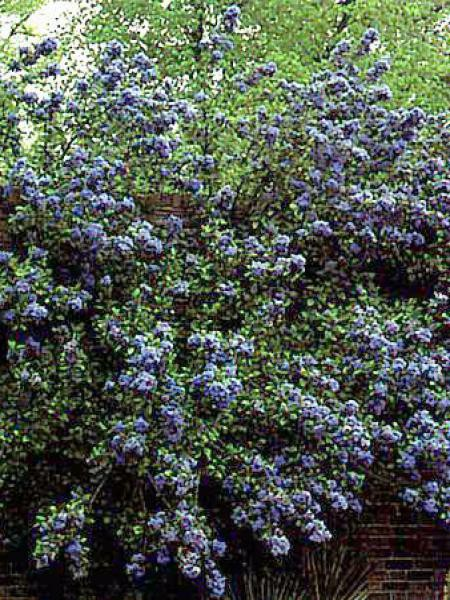 c anothe lilas de californie 39 trewithen blue 39 ceanothus. Black Bedroom Furniture Sets. Home Design Ideas