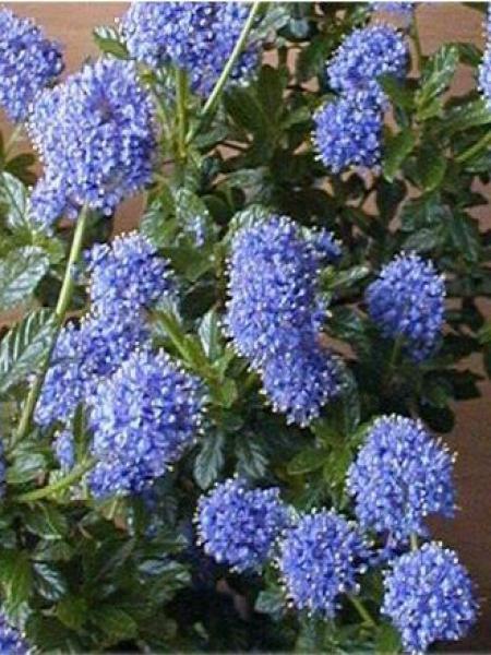 Céanothe, Lilas de Californie 'Victoria'
