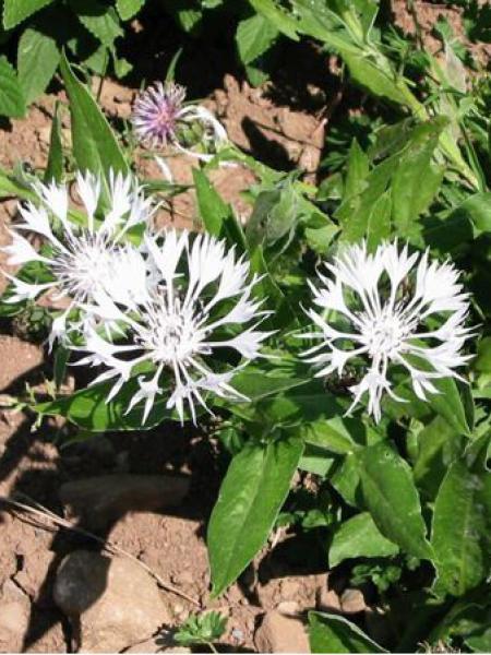 Centaurée montana 'Alba'