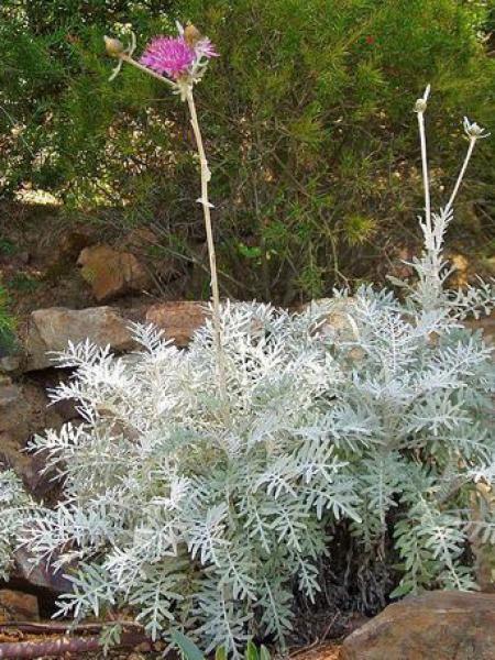Centaurée pulcherrima