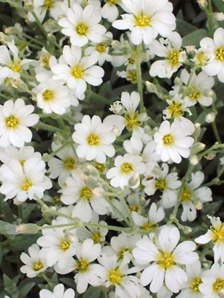 Cerastium tomentosum 'Yoyo'