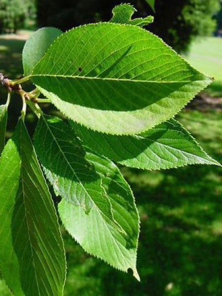 Cerisier à fleur yedoensis