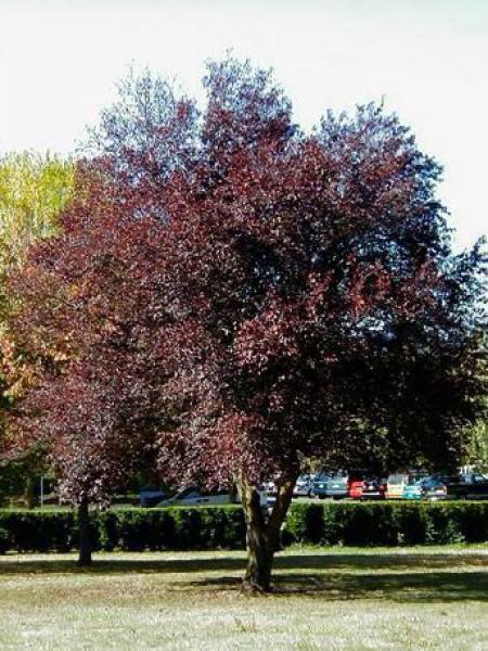 Cerisier à fleurs 'Pissardii'