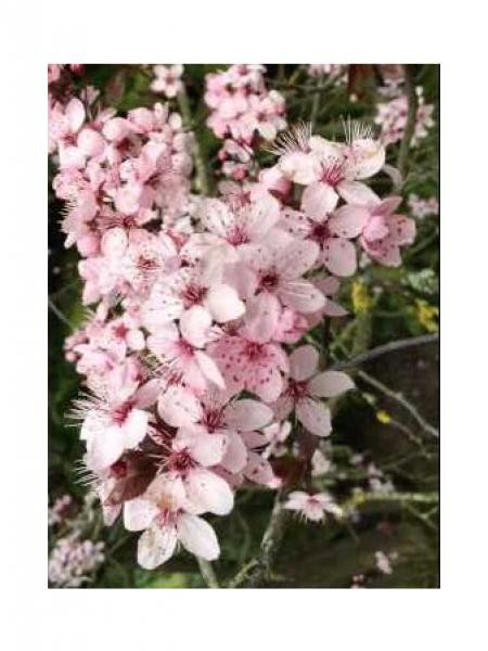 Cerisier à fleurs, Prunier myrobolan 'Pissardii'