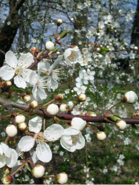 cerisier fleurs prunier myrobolan prunus cerasifera le jardin du pic vert. Black Bedroom Furniture Sets. Home Design Ideas