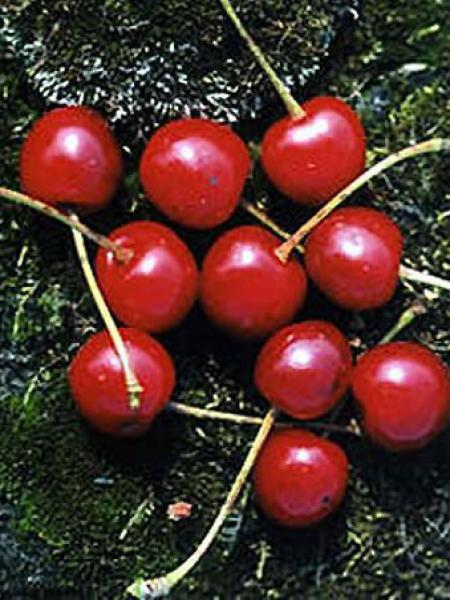 Cerisier 'Anglaise Hâtive'