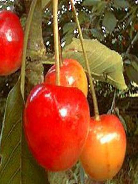 Cerisier 'Bigarreau Napoléon'