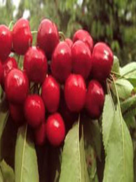 Cerisier 'Bigarreau Van'