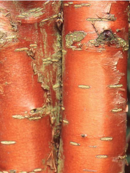 Cerisier de mandchourie 'Amber Beauty'