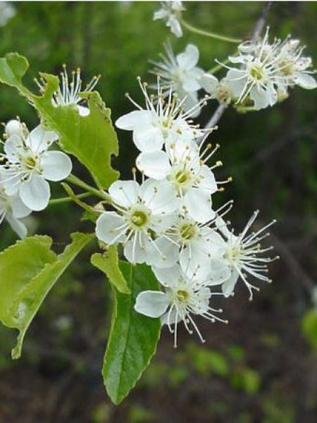 Cerisier de Sainte-Lucie