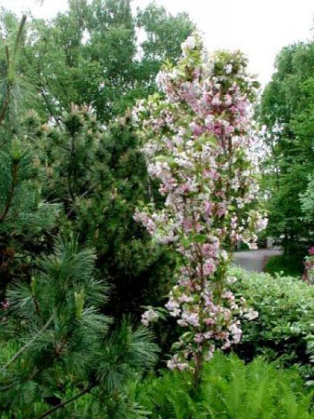 Prunus serrulata amanogawa taille