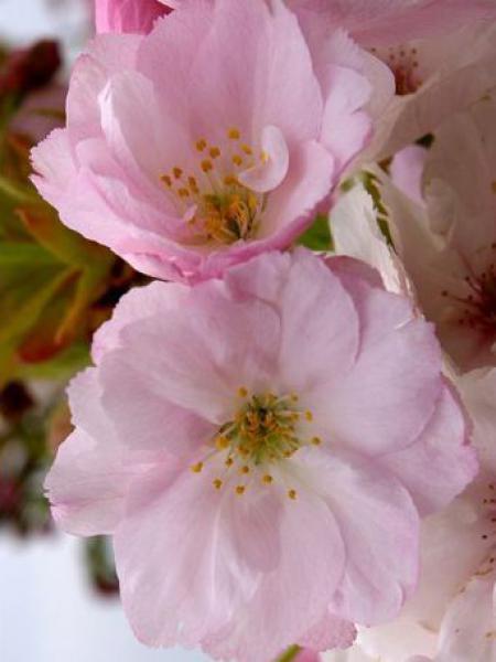 Cerisier du Japon 'Amanogawa'