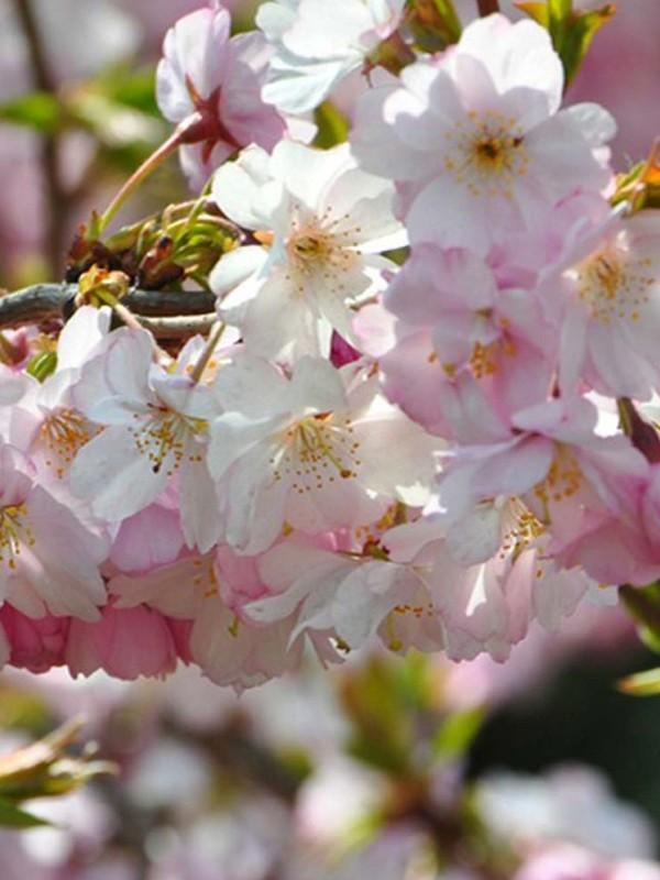 Cerisier du Japon 'Autumnalis'