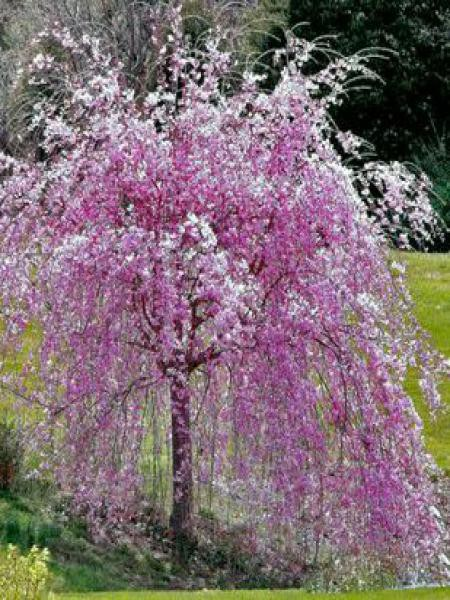 Cerisier du Japon 'Kiku-shidare-sakura'