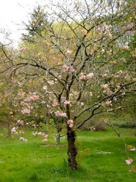 Cerisier du Japon 'Pink Perfection'