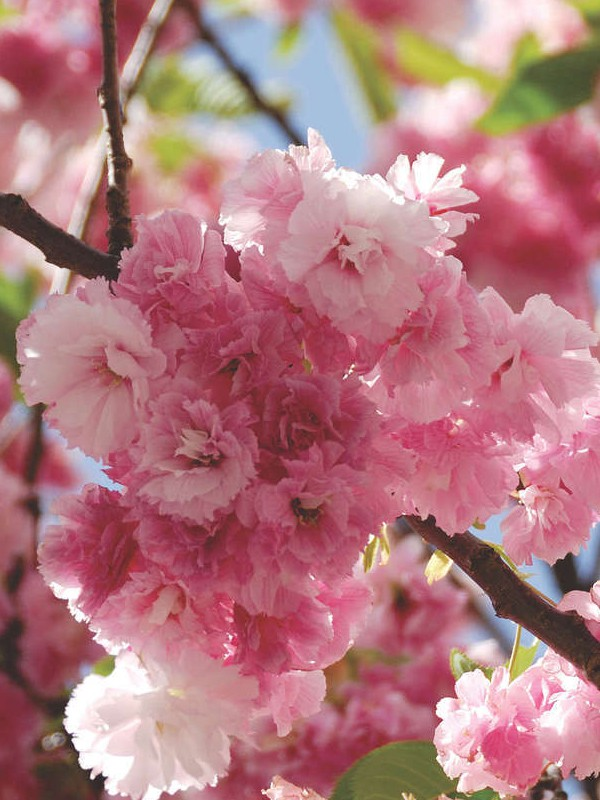 cerisier du japon 39 pink perfection 39 prunus serrulata le jardin du pic vert. Black Bedroom Furniture Sets. Home Design Ideas