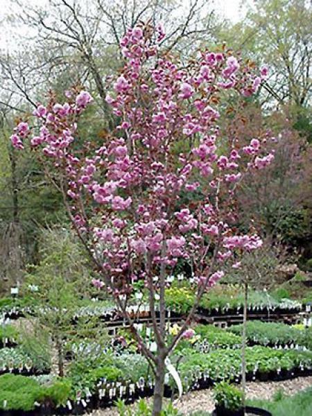 Cerisier du Japon 'Royal burgundy'