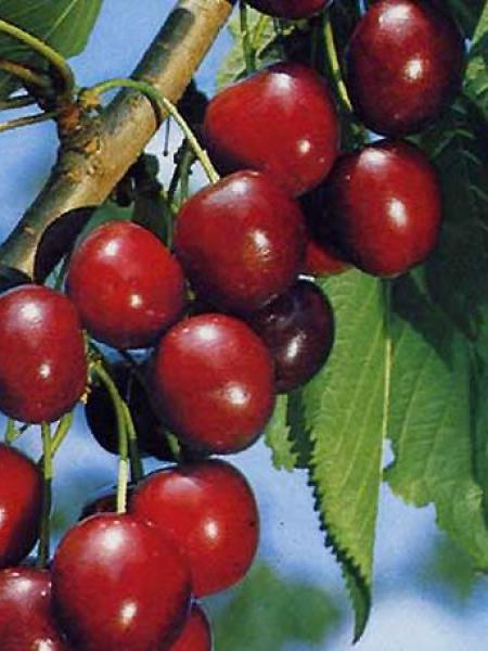 Cerisier 'Hedelfinger Riesenkirsche'