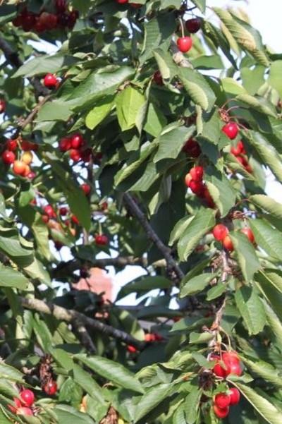 Prunus 'Cherry Boop'