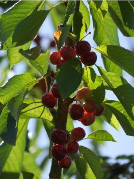 Cerisier 'Reverchon'