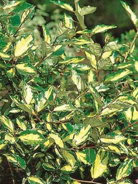 Chalef Piquant Maculata Elaeagnus Pungens Le Jardin Du Pic Vert