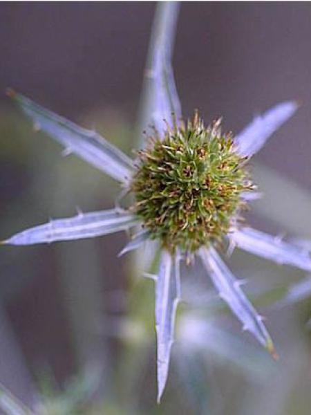 Chardon bleu, Panicaut à feuilles planes 'Blauer Zwerg'