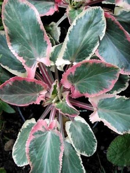 Chardon bleu, Panicaut à feuilles planes 'Jade Frost'