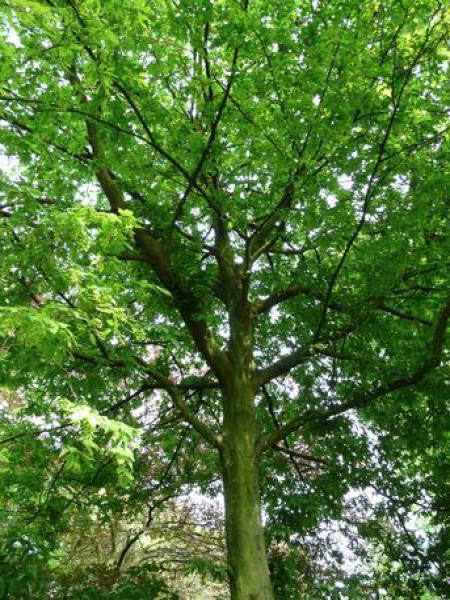 Charme commun 'Quercifolia'