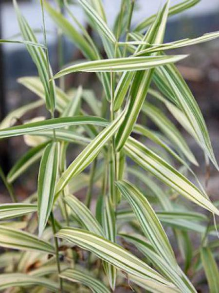 Chasmanthium latifolium 'River Mist'