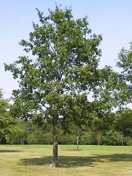 Chêne chevelu,Chêne lombard,Chêne de Bourgogne