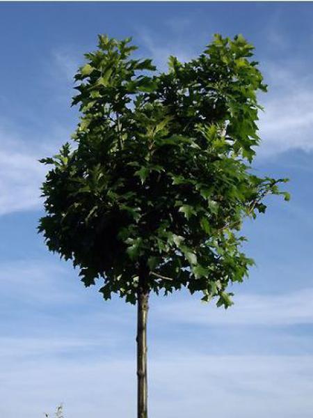 Chêne des marais, Chêne épingle 'Green Dwarf'