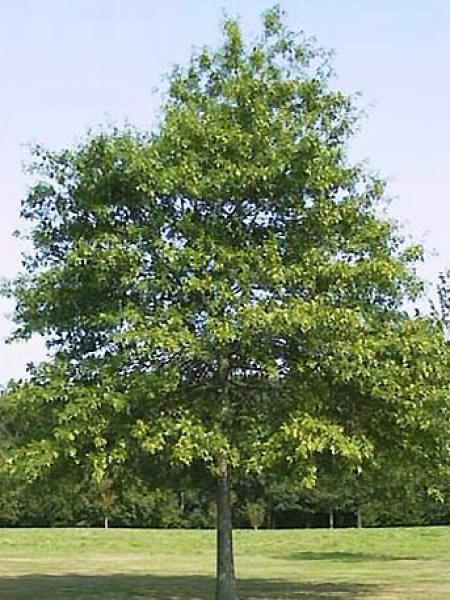 Chêne des marais, Chêne épingle