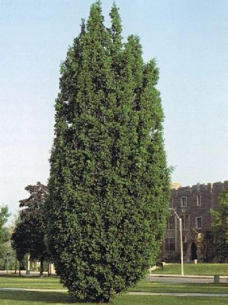 Chêne pédonculé 'Fastigiata'