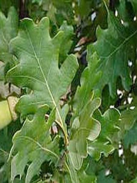 Chêne pédonculé 'Fastigiata Koster'