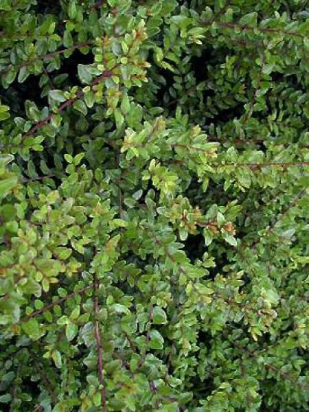 Chèvrefeuille à feuilles de buis 'Elegant'